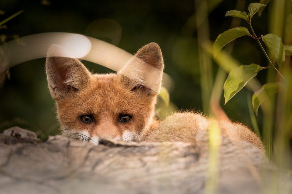En liten söt räv